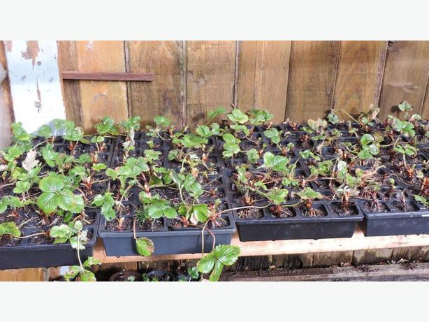 - June Bearing Strawberry Plants  - Bare root plants