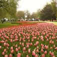Volunteers Needed for Canadian Tulip Festival