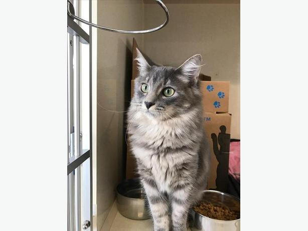 Biscuit *adoption Pending - Domestic Medium Hair Cat