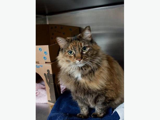 Ursula - Domestic Longhair Cat