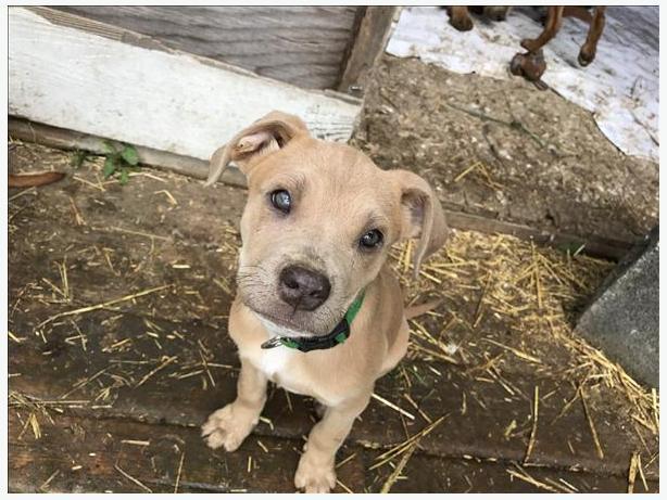 Salsa - Mastiff Puppy