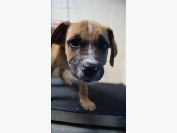 Waffles - Mastiff Puppy