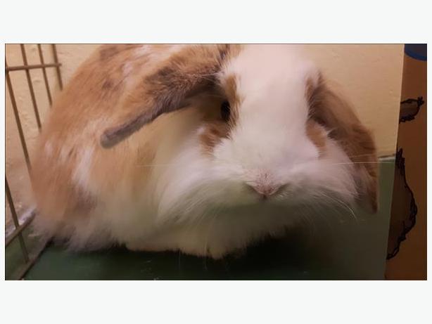 Dandilion - Lionhead Rabbit