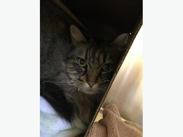 Precious - Maine Coon Cat