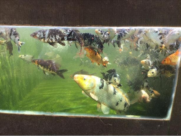 Koi fish malahat including shawnigan lake mill bay for Local koi fish for sale