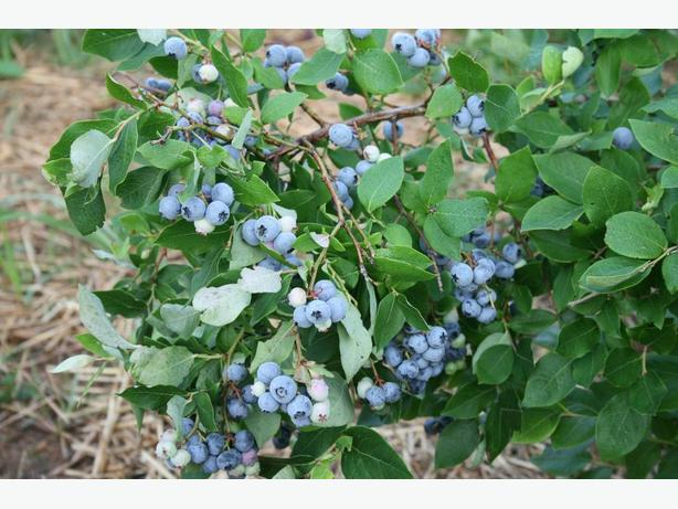 blueberry plants