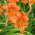 orange day lilies -reduced