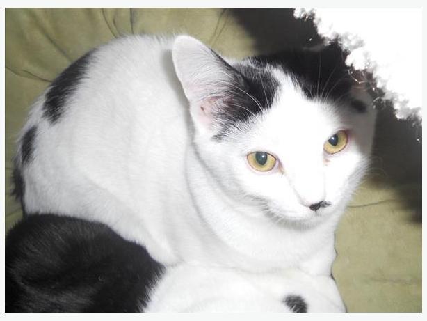 Snoopy - Domestic Short Hair Cat