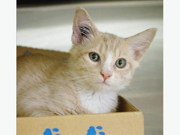 Orion - Domestic Short Hair Kitten