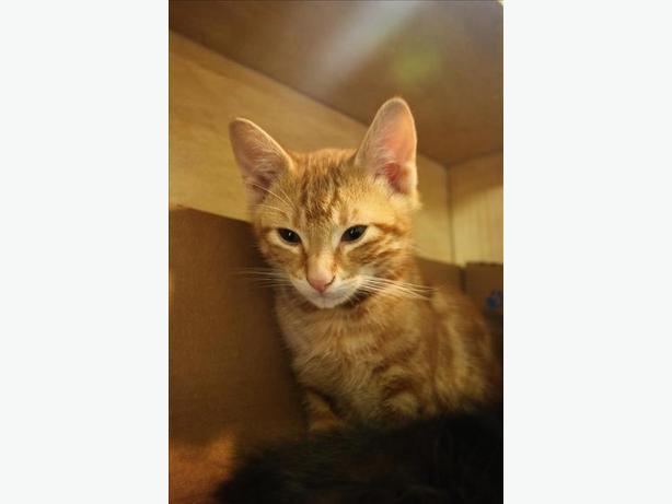 Clark - Domestic Medium Hair Kitten