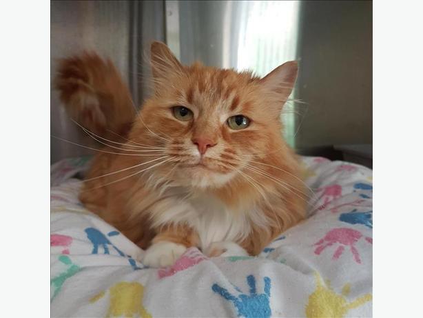 Harlow - Domestic Medium Hair Cat