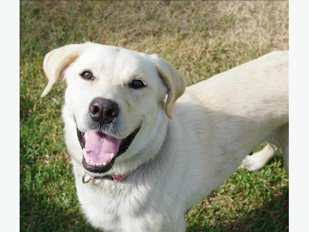 Tess - Labrador Retriever Dog