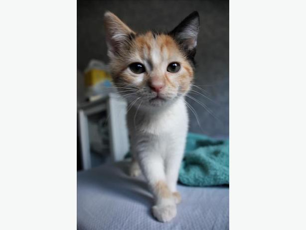 Bess - Domestic Medium Hair Kitten