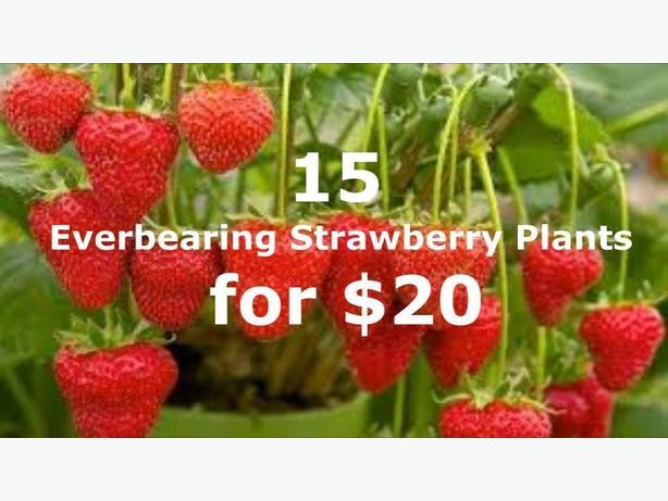 Everbearing Strawberry Plants