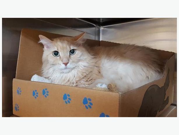Princess Peach - Domestic Longhair Cat