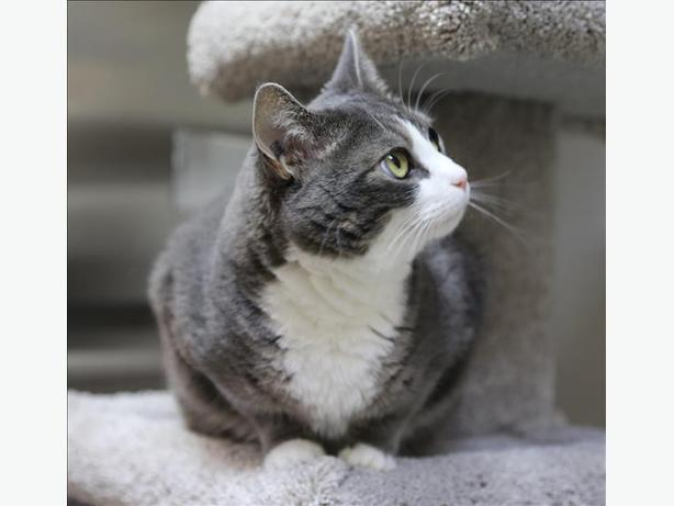 Tulula - Domestic Short Hair Cat
