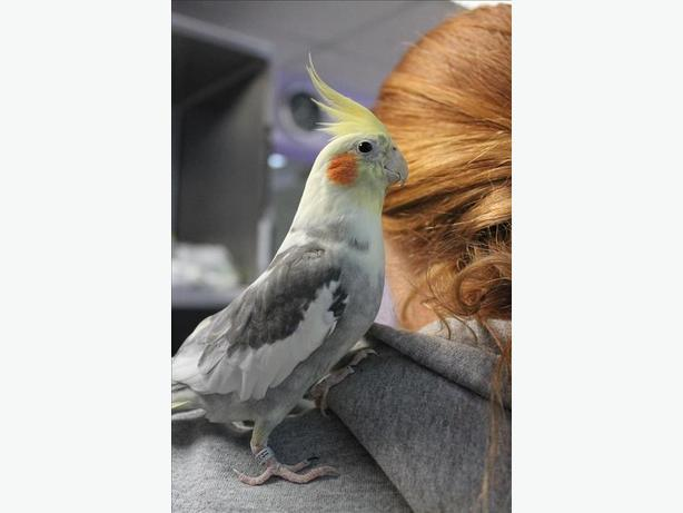 Nix - Cockatiel Bird - Exotic