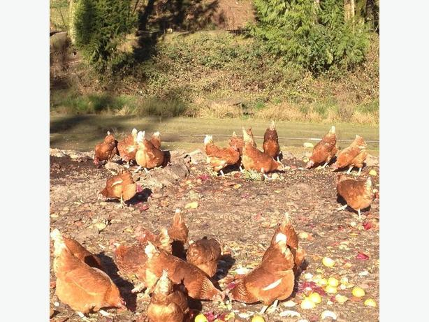 Bovans Brown Laying Hens For Sale