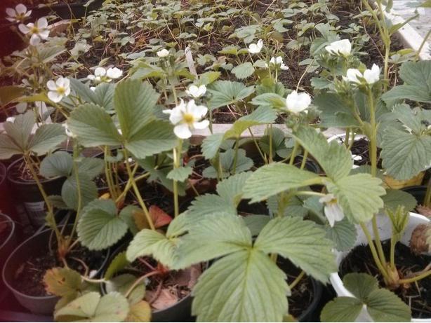 Everbearing Strawberry Plants