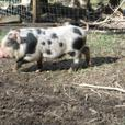 Mini Piglets, Sunday June 25, Duncan Buckerfields poultry swap 11AM-12PM