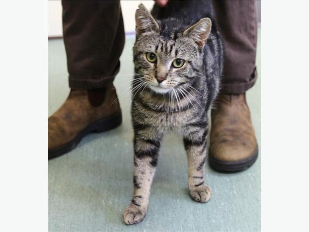 Raider - Domestic Short Hair Cat