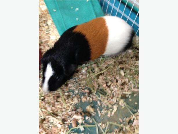 Neapolitian - Guinea Pig Small Animal