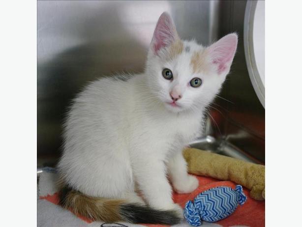 Bobolet - Domestic Short Hair Kitten
