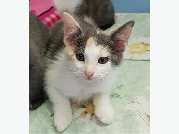 Tofu - Domestic Short Hair Kitten