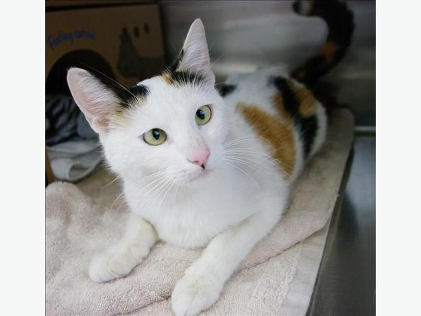 Gracey - Domestic Short Hair Cat