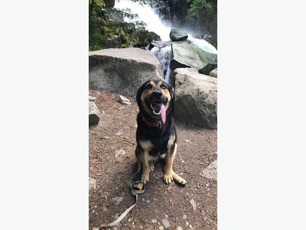 Senka - German Shepherd Dog