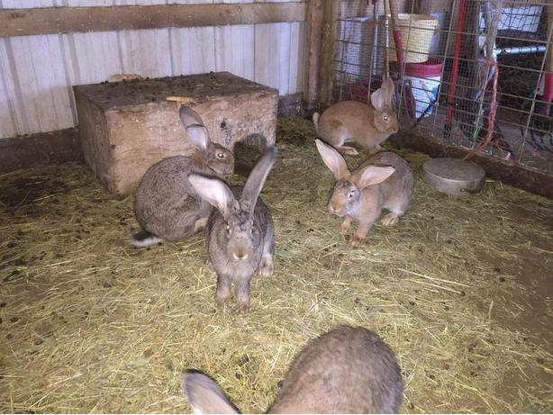 Large Breed Rabbit