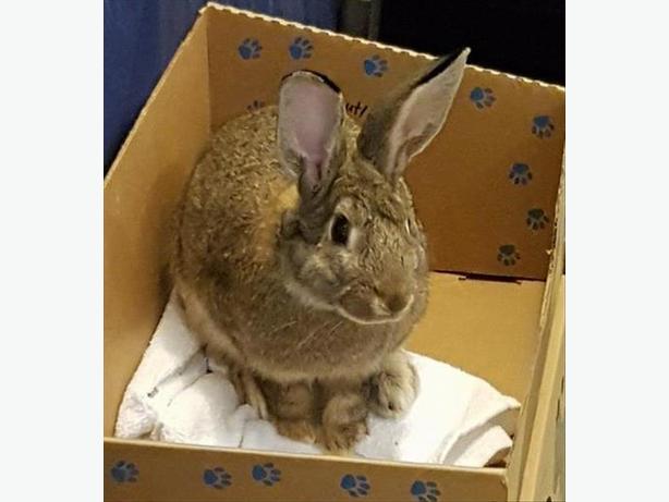 Peter - American Rabbit
