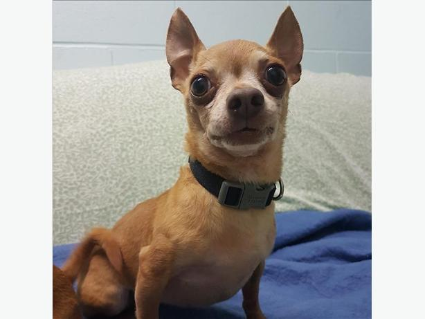Chewie - Chihuahua Dog