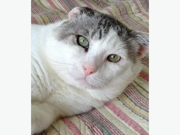 Barloc - Domestic Short Hair Cat