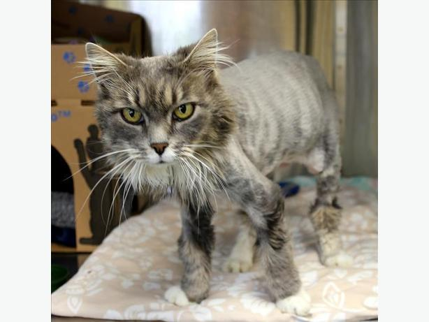Rizzo - Domestic Medium Hair Cat