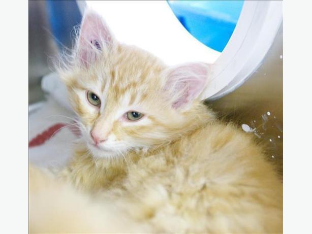 Aubrey - Domestic Medium Hair Kitten