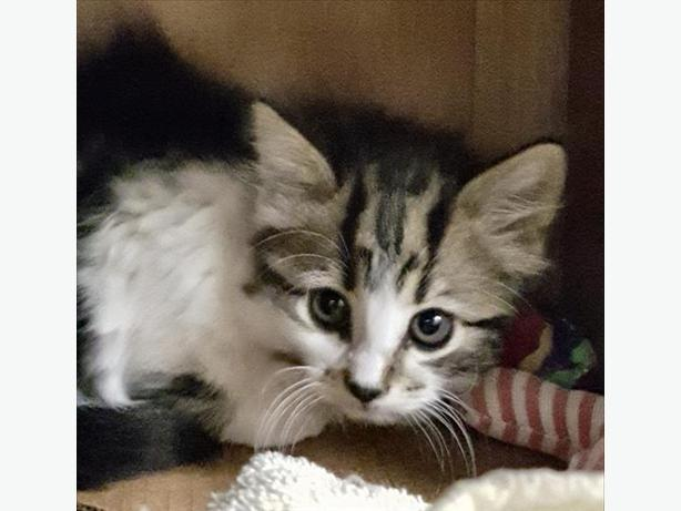 Geneva - Domestic Medium Hair Kitten