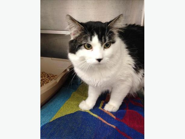 Leon - Domestic Longhair Cat