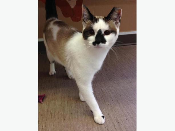 Jezzabelle - Siamese Cat