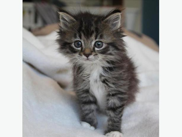Wiggins - Domestic Medium Hair Kitten