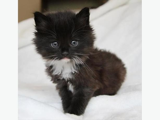 Wilbert - Domestic Longhair Kitten