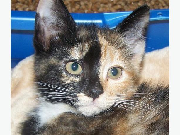 Hailey - Domestic Medium Hair Kitten