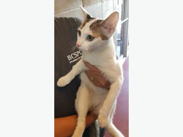Finey - Domestic Short Hair Cat