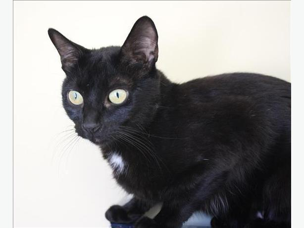 Onyx - Domestic Short Hair Cat