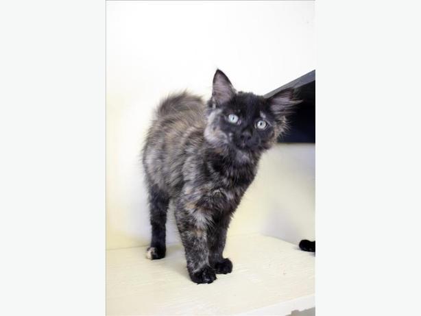 Sweet Pea - Domestic Longhair Kitten