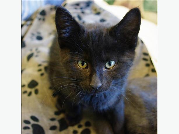 Ontario - Domestic Short Hair Kitten