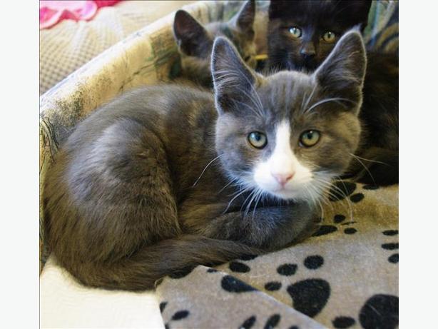 Edward - Domestic Short Hair Kitten