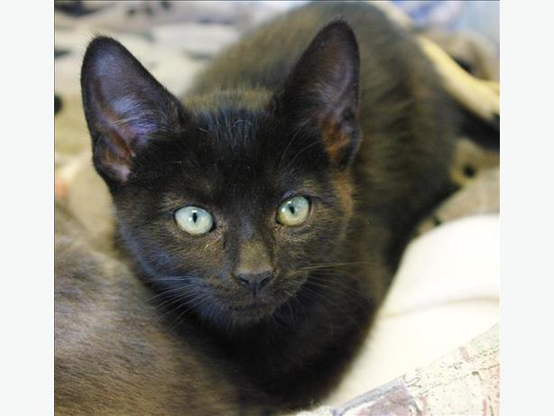 Nova - Domestic Short Hair Kitten
