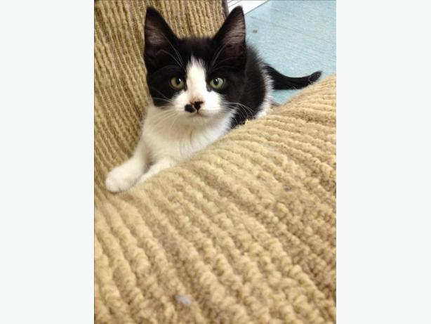 Malibu - Domestic Short Hair Kitten