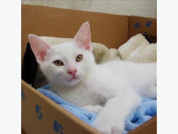 Lakita - Domestic Short Hair Kitten